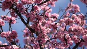 Hommelvliegen onder de takken van een tot bloei komende kersenboom stock videobeelden