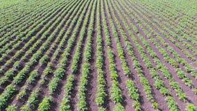 Hommelvlucht over aardappelgebied Genetisch wijziging van landbouwinstallatiesconcept stock footage