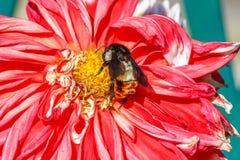 Hommelzitting op bloem Royalty-vrije Stock Foto's