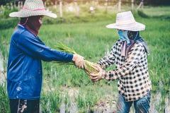 Hommes étant riz de jeunes plantes de riz de greffe en Thaïlande Images stock