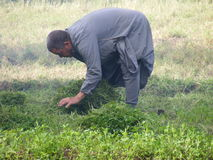 Hommes d'agriculteur dans l'Islam de Dahab moissonnant des graines photos libres de droits