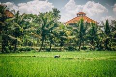 Hommes de Balinese dans le fonctionnement de chapeau de paille sur le champ de terrasse photo stock