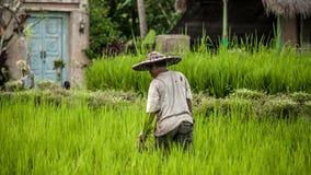 Hommes de Balinese dans le fonctionnement de chapeau de paille sur le champ de terrasse image stock