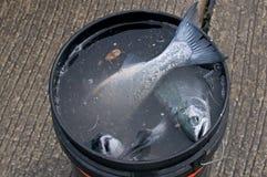 Hommes pêchant pour de petits saumons de coho de ressort Photographie stock