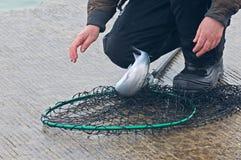 Hommes pêchant pour de petits saumons de coho de ressort Photos stock