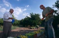 Hommes travaillant dans une orangeraie, Palestine Images stock