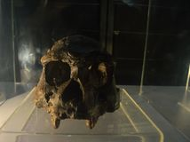 Homo erectus łacina, znaczy ` ludzkiego trwanie pionowego ` jest typ wymarła istota ludzka od genus homo obraz royalty free