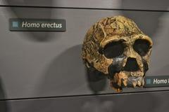 Homo erectus Photographie stock