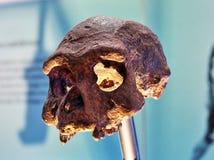 Homo Erectus czaszki Lana odbudowa Zdjęcia Stock