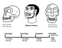 Homo erectus face and skull illustrations Royalty Free Stock Photography