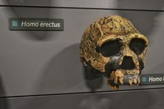 Homo erectus. Skull of extinct species of hominid , Homo erectus at Natural History Museum in London Stock Photography