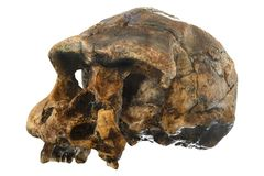 erectus skull Oblique view . Discovered in 1969 in Sangiran , Java , Indonesia . Dated to 1 million years ago royalty free stock image