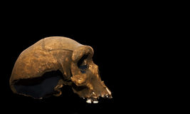 Homo Sapiens Rhodesiensis Stock Photos