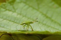 Homoptera Royalty-vrije Stock Afbeeldingen