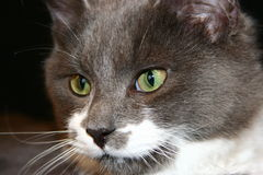 Homosexuelle Katze Lizenzfreie Stockfotos