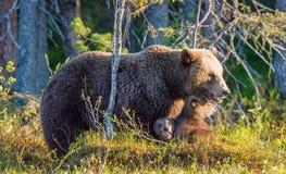 Hon-björn och gröngölingar av brunbjörnen Fotografering för Bildbyråer
