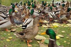Hon-ducka Royaltyfria Bilder