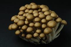 Hon-shimeji (brown beech) mushrooms Stock Images