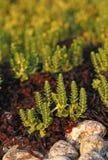 Honckenya peploides Στοκ Εικόνες