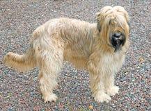 Hond 2 van Briard Stock Foto's
