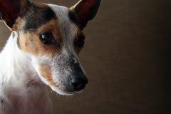 Hond 2 van de terriër stock fotografie