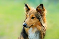 Hond Royalty-vrije Stock Foto's