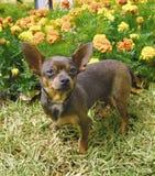 Hond 4 van Chihuahua royalty-vrije stock foto