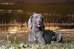 Hond Stock Afbeelding