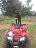 Hond Royalty-vrije Stock Afbeelding