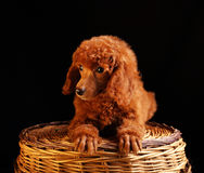 Hond stock foto