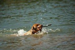 Hond in aard Royalty-vrije Stock Fotografie