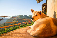 Hond in Aardbeituin in Doi Ang Khang, Chiang Mai, Thailand Stock Foto's