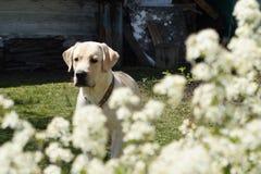 Hond Achter mening van een puppyhond op een grijze achtergrond Royalty-vrije Stock Foto's