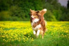 Hond in actie Royalty-vrije Stock Foto