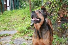 Hond als huisdier Royalty-vrije Stock Foto's