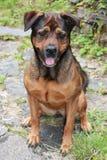 Hond als huisdier Royalty-vrije Stock Foto