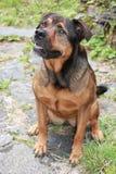 Hond als huisdier Royalty-vrije Stock Afbeeldingen