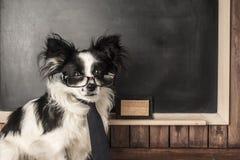Hond als schoolleraar stock afbeeldingen