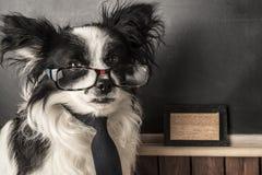 Hond als schoolleraar met glazen en band stock foto's