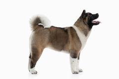 Hond Amerikaans Akita-puppy van witte achtergrond Royalty-vrije Stock Foto