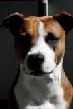 hond Amerikaanse Staffordshire terriër Royalty-vrije Stock Afbeelding