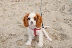 Hond of arrogant het spanielpuppy van koningscharles stock foto