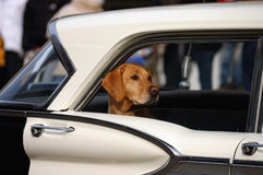 Hond in auto stock afbeelding
