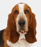 Hond, basset geïsoleerde hond, Royalty-vrije Stock Fotografie
