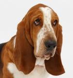 Hond, basset geïsoleerde hond, Royalty-vrije Stock Foto's