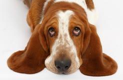 Hond, basset geïsoleerde hond, Stock Foto's