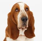 Hond, basset geïsoleerde hond, Stock Foto