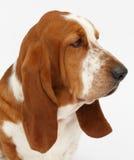 Hond, basset geïsoleerde hond, Stock Afbeelding