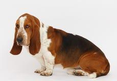 Hond, basset geïsoleerde hond, royalty-vrije stock afbeeldingen