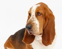 Hond, basset geïsoleerde hond, Royalty-vrije Stock Afbeelding